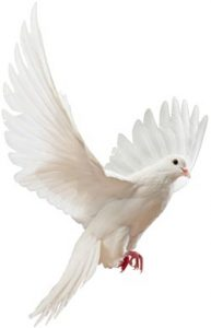 A flying white dove